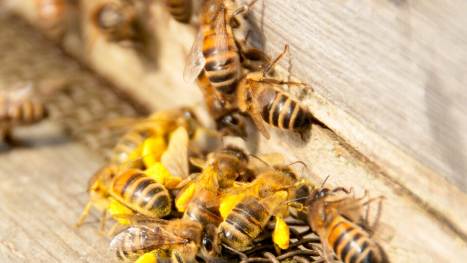 More losses for United States beekeepers
