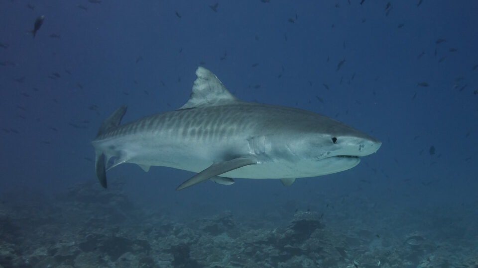 shark populations declining