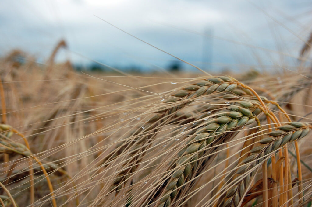 wheat and wheat allergies