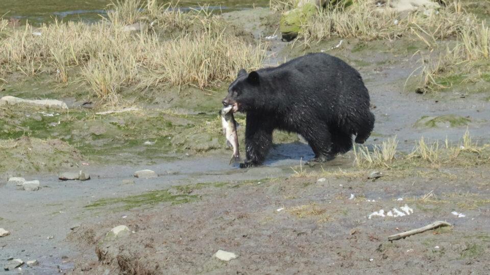 Salmon in Alaska are shrinking