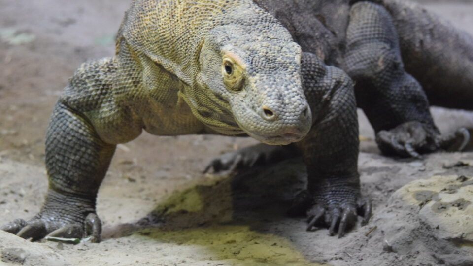 climate change threatens komodo dragons