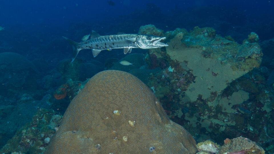 Artificial reefs as habitat for marine predators