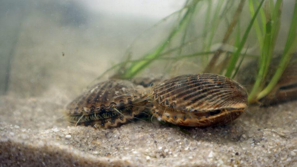 Restoring seagrass in Virginia