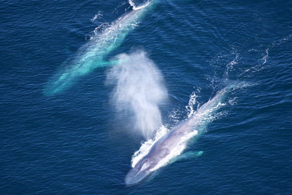 Blue whales making a comeback
