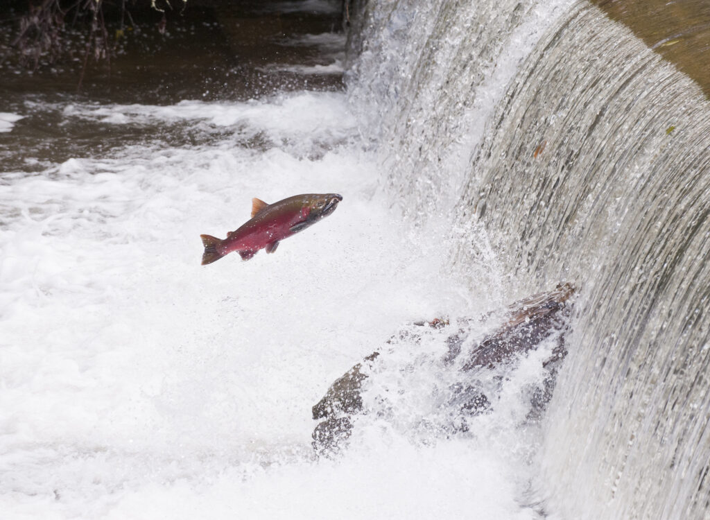 the mysterious deaths of Coho salmon