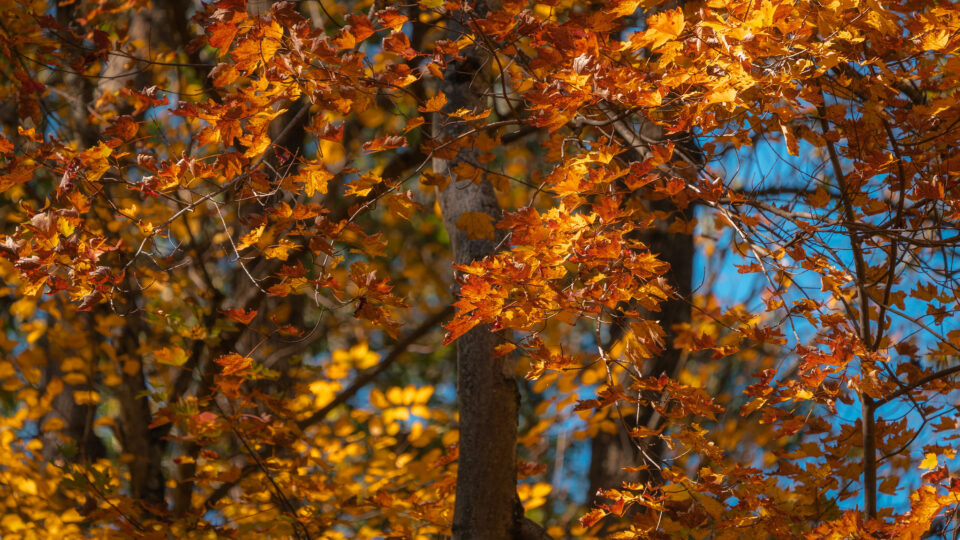 Explaining the magnificent spectacle of fall foliage
