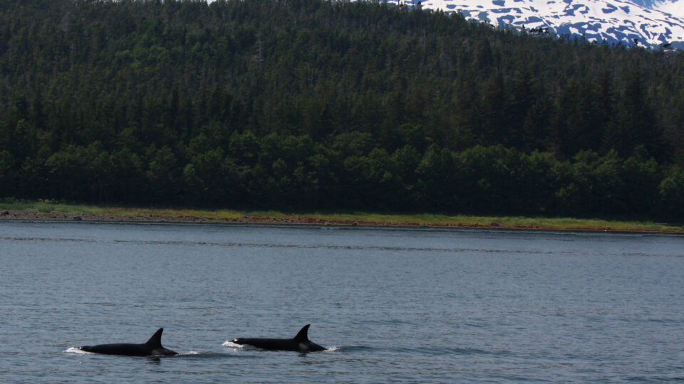 Humans are killing orcas