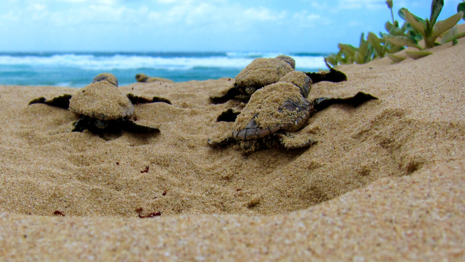 Loggerhead turtles don't put all their eggs in one basket