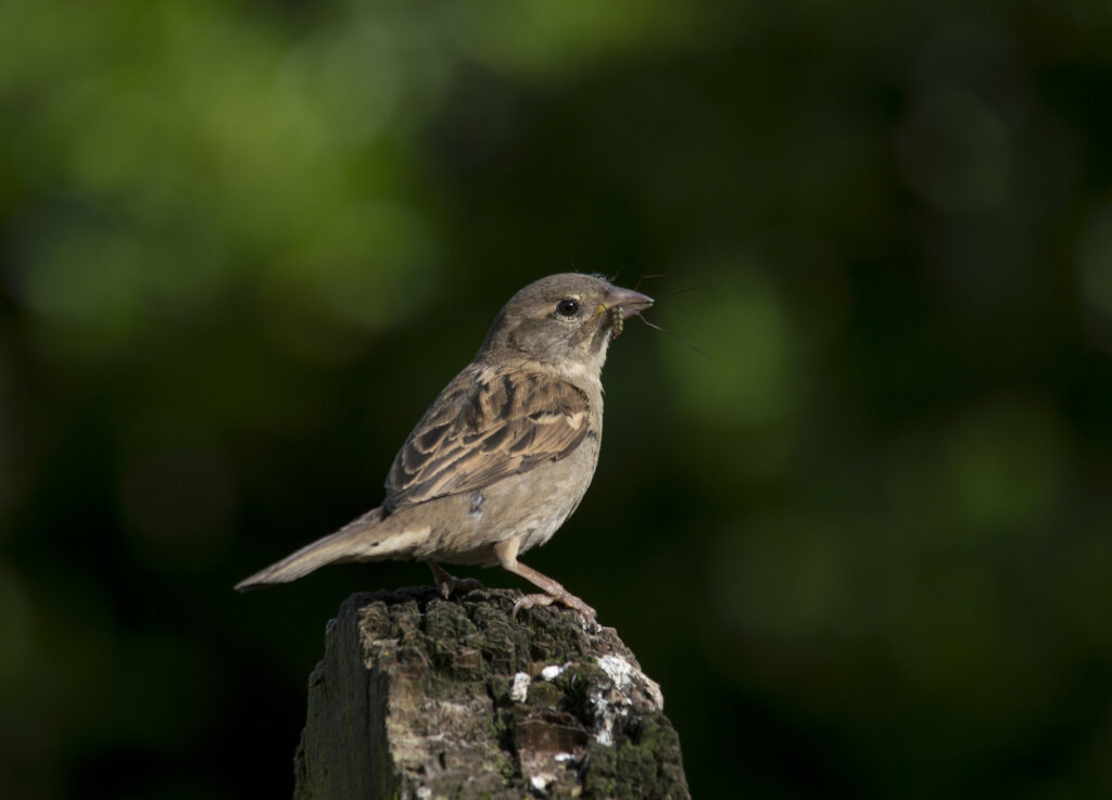 Even the common house sparrow is declining as the climate changes