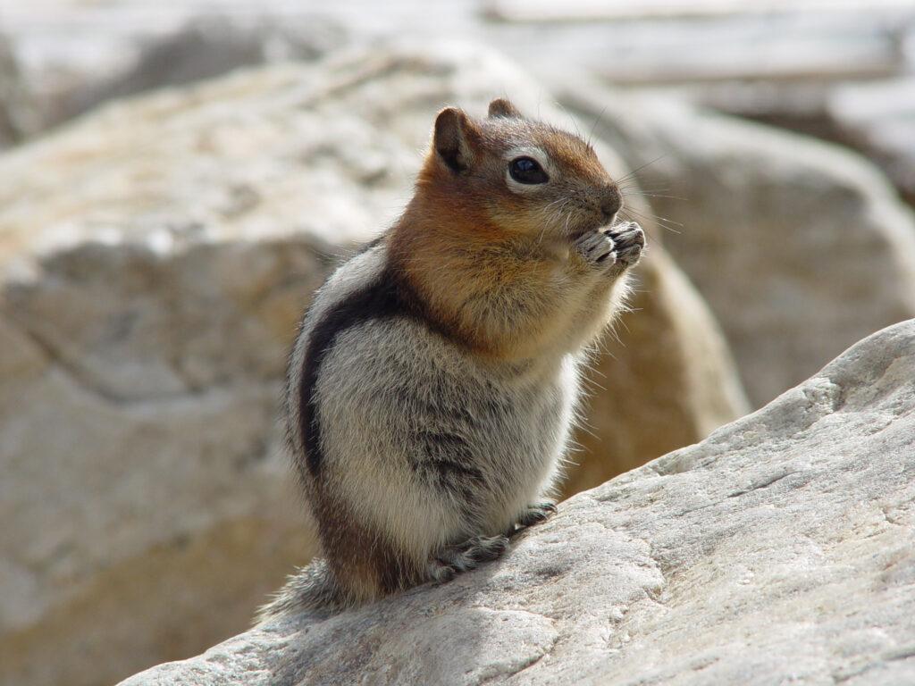 Many mammals are climbing to escape the heat