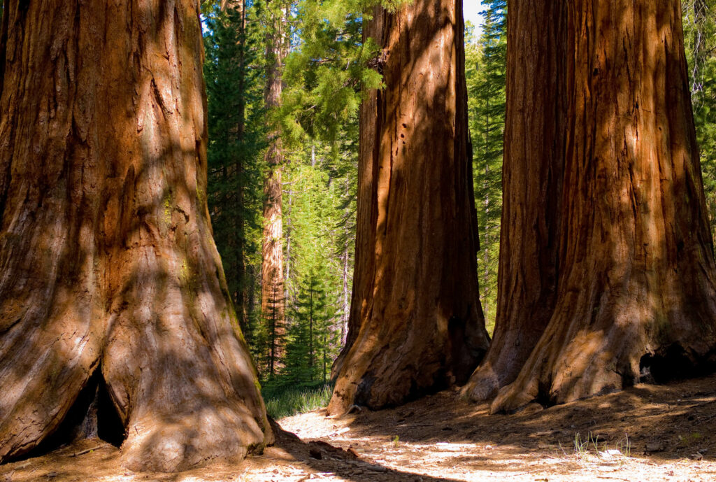 Forest managers working to save the sequoias