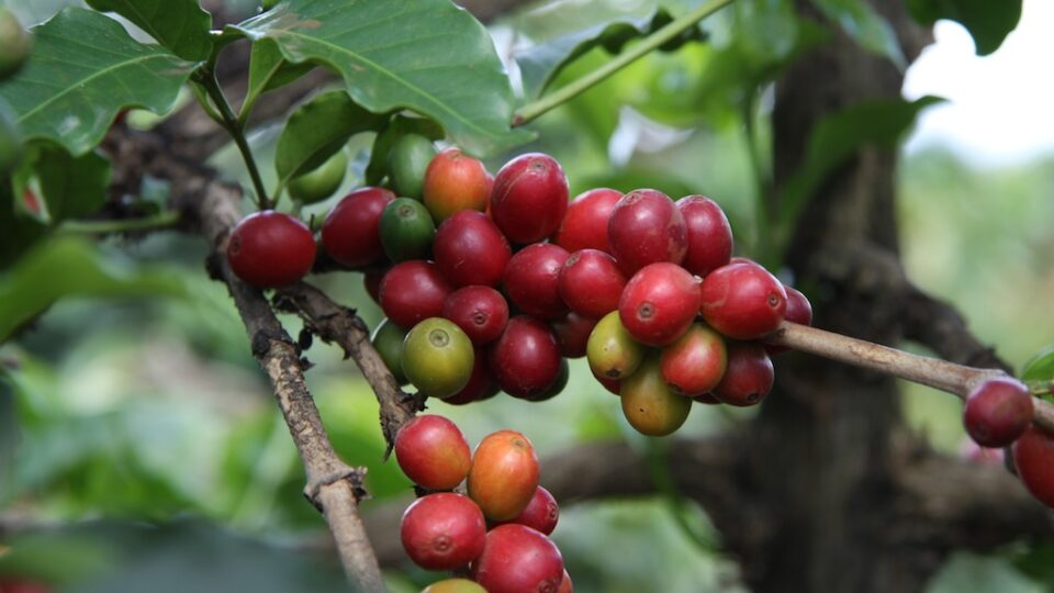 How to save coffee from climate change
