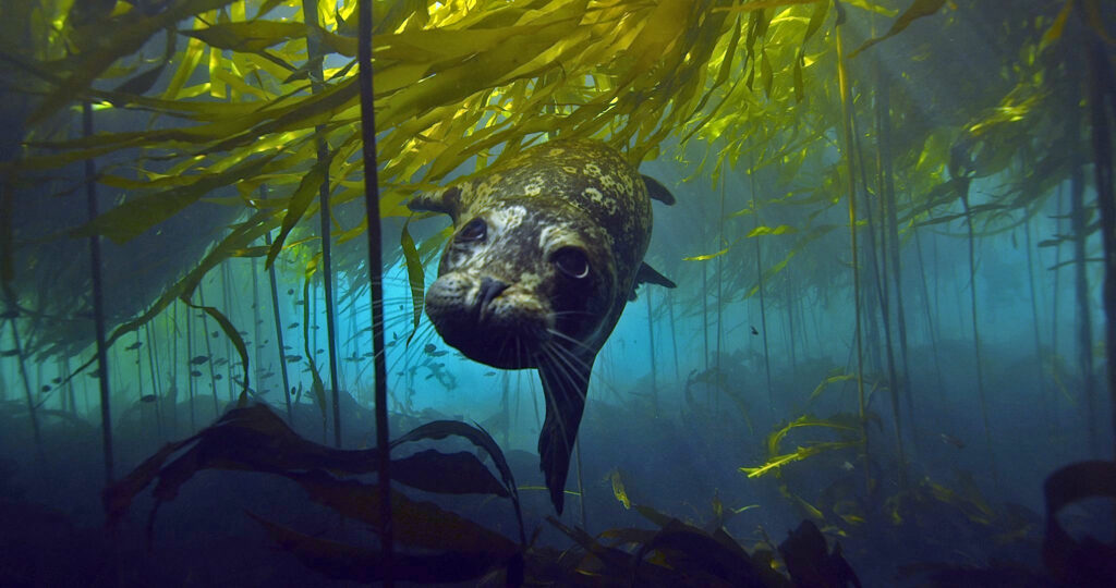 Bull kelp forests in California are disappearing