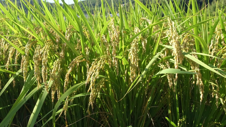 Manipulating RNA can lead to huge increases in crop yields