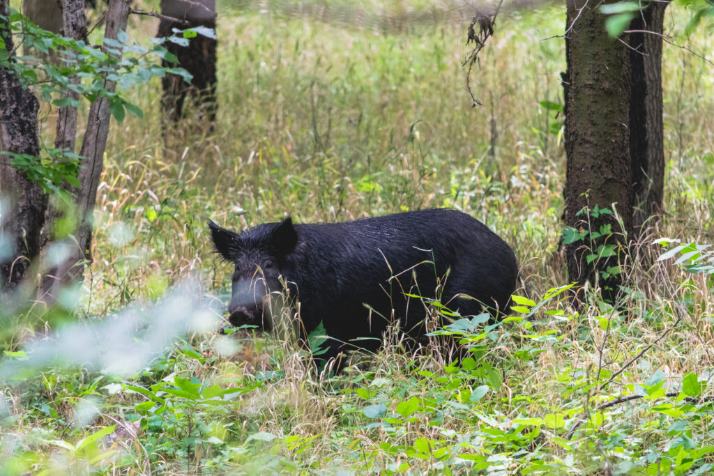Wild pigs cause significant climate damage all around the globe