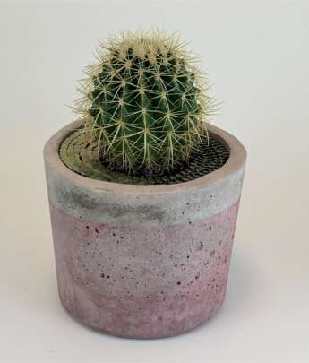 Barrel Cactus - Goat City Plant Design & Delivery Atlanta Ga.