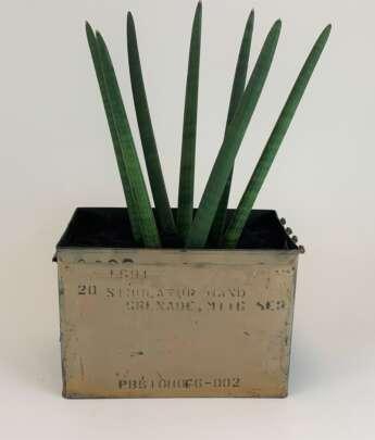 Sansevieria Cylindrical, aka African Spear - Goat City Plant Design & Delivery Atlanta Ga.