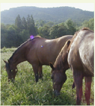 Violet Emerald, the original Green Horse, grazing with her son Beau.
