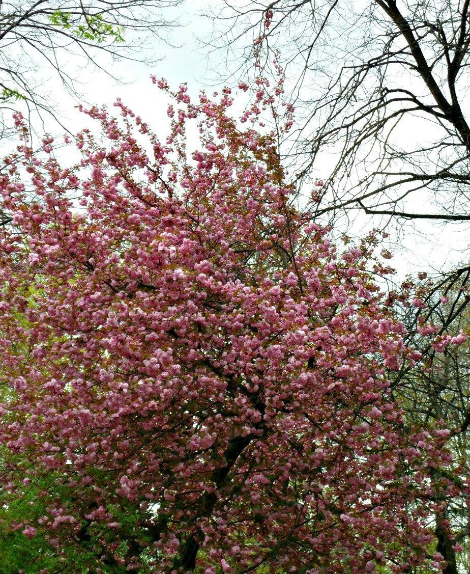 Blossom Tree at Gracie Mansion