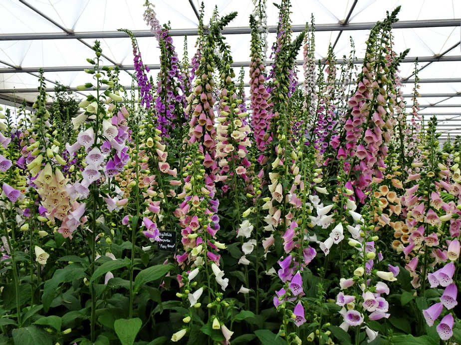 Foxgloves at the Chelsea Flower Show