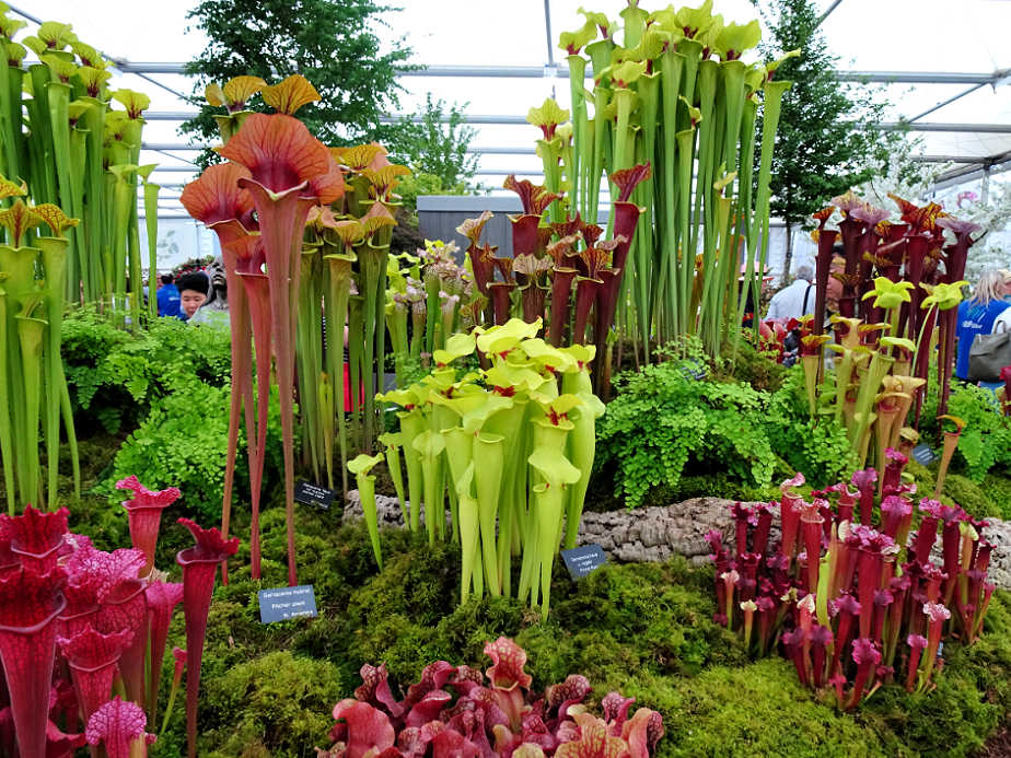 Pitcher Plants at the Chelsea Flower Show