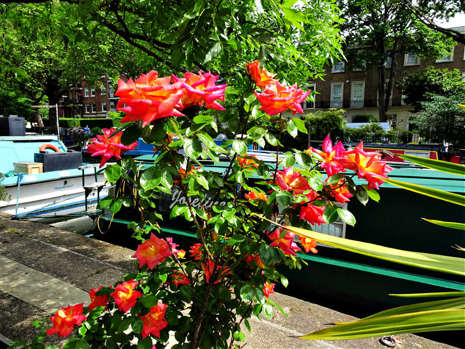 Beautiful flowers by the side of Regent's Canal