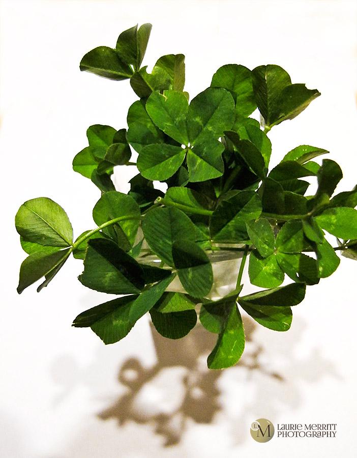 4-leafclovers-9575_900
