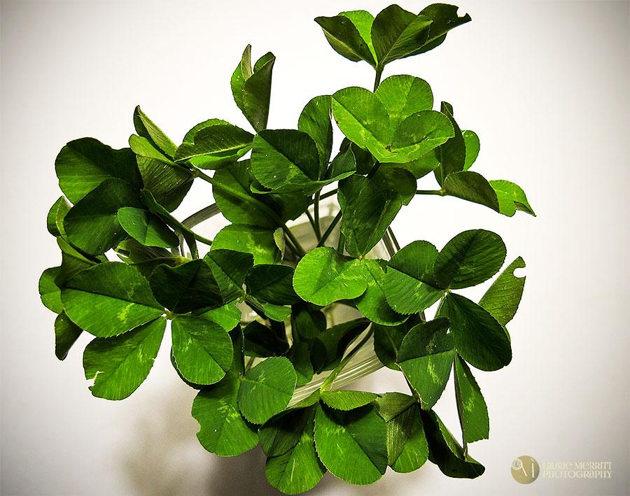 4-leafclovers-9583_900