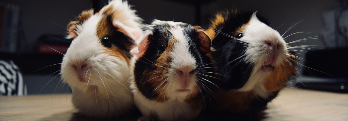 Guinea Pig Dental Health