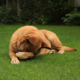 dog laying on green grass