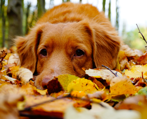 golden retriever in fall