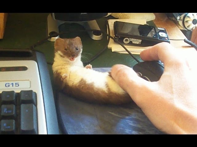 Ozzy the adorable desk weasel.