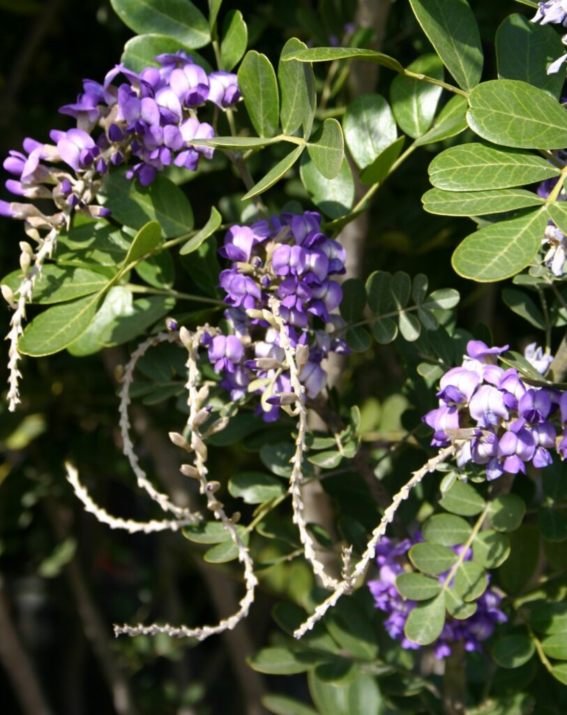 Mountain Laurel with Bloom Stems