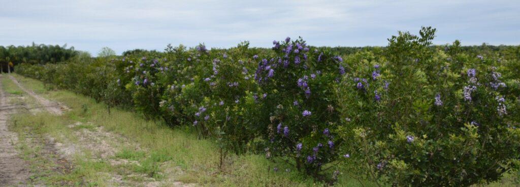 Field of Texas Mountain Laurels