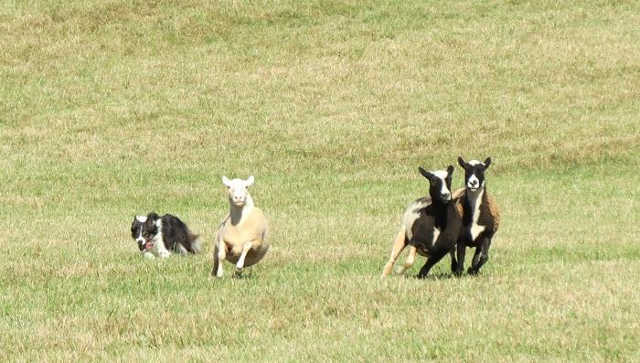 Sheepdog trials, Fall Fiber Festival and Montpelier Sheepdog Trials