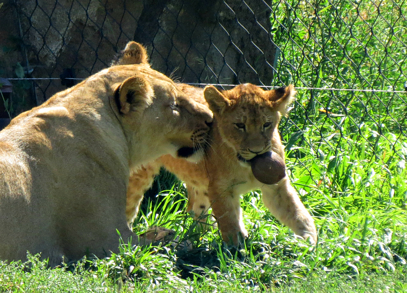 2016-08-09_HogleZoo_IMG_7139_cropped-edited-resized_800x577