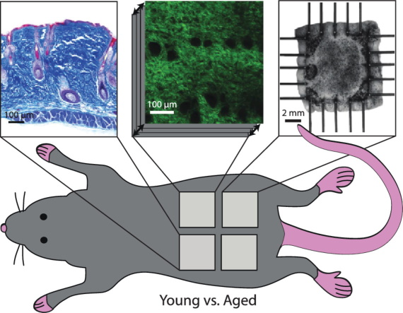 CellScale User Publication Highlight: Regional-Dependent Biaxial Behavior of Young and Aged Mouse Skin