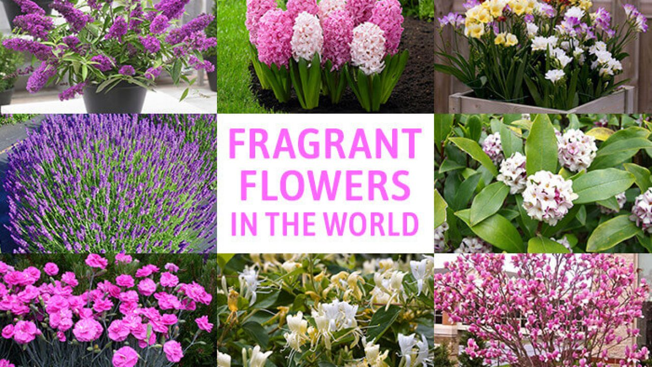 Beautiful Flower Plants with The Fragrant