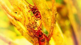 Two Murder Hornets In Their Nest