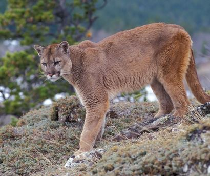 Mountain Lion Breaks into Home