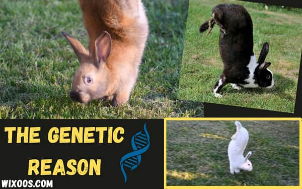 Why These Mutant Rabbits Walk on Two Legs