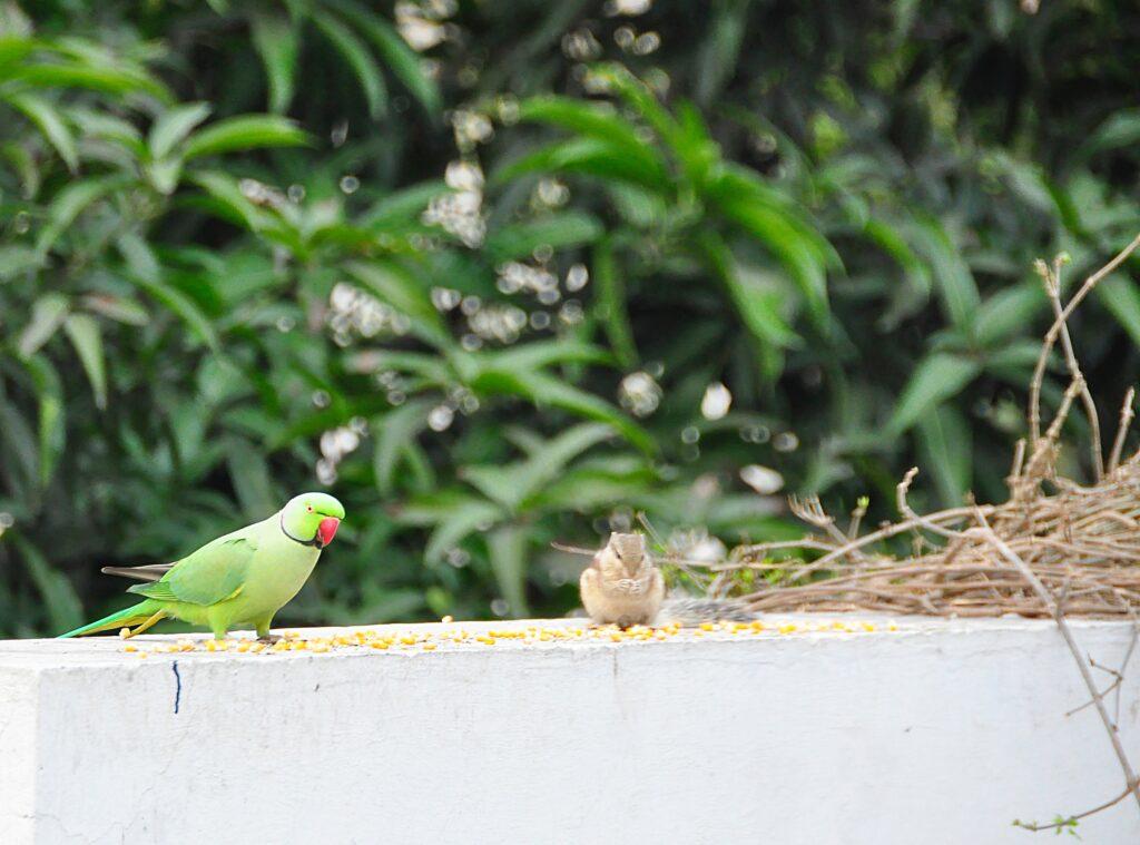 Indian Green Parrot