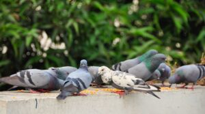 Grey and White Pigeons