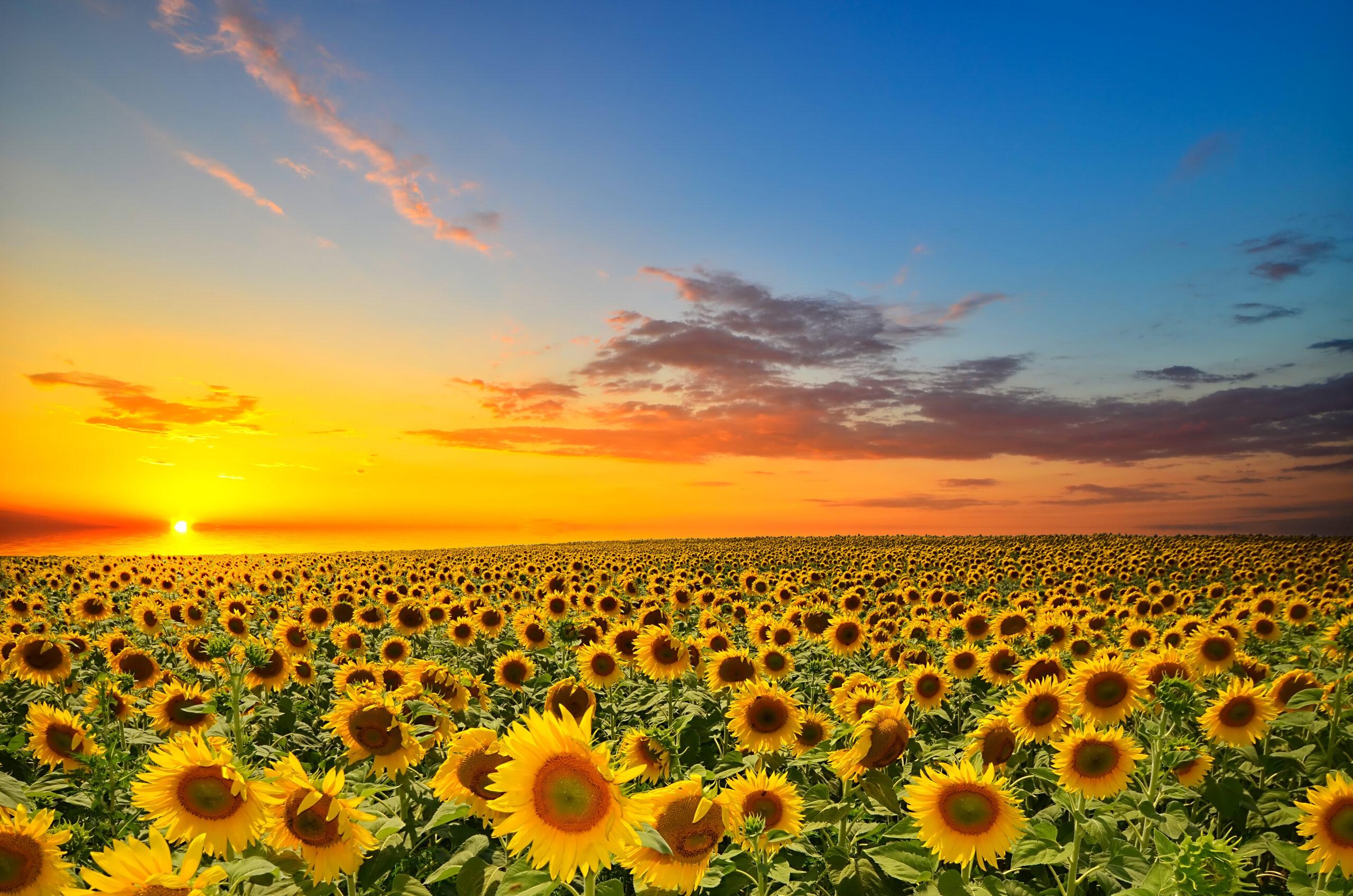 The Sunflower Effect