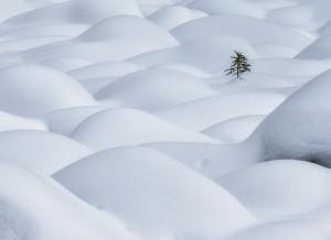 Lone Pine in Snow Dunes 雪浪孤树 Michael Zheng