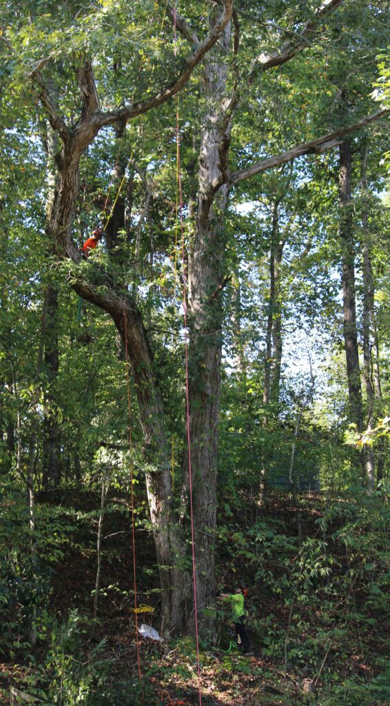North Georgia Arbor - removing large white oak in sections