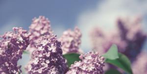 lilac flowers against a blue sky