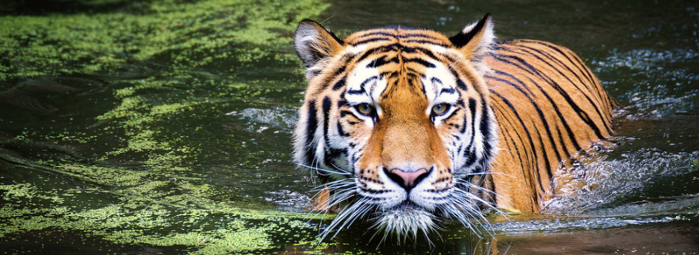 tiger representing the tiger that tested positive for coronavirus at the bronx zoo in April 2020