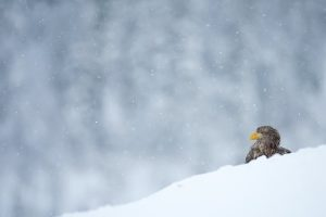 White tailed sea eagle in the snow