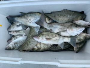 Four Fundamentals of Striper Fishing with Live Bait
